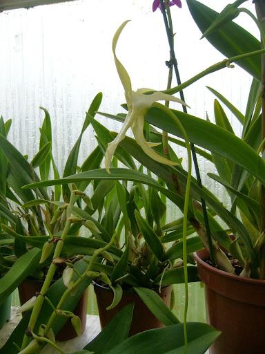 Angraecum bosseri (Angraecum sesquipedale var. angustifolium) P1080831