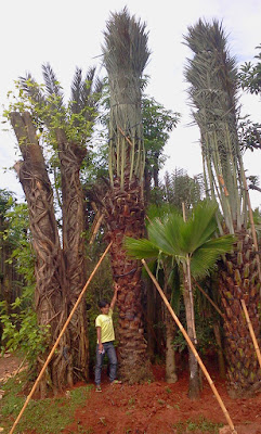 Jual Pohon Palem Kurma Murah | Pohon Palem Korma