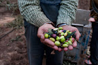 Thumbnail image for The olive harvest