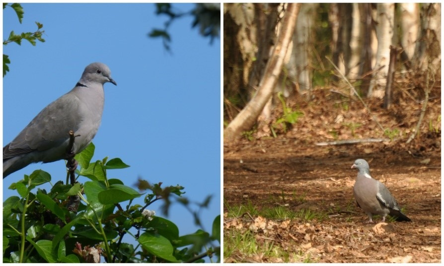 [Collard+Dove+and+Wood+Pigeon%5B3%5D]