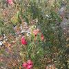 John Cabot Explorer Rose