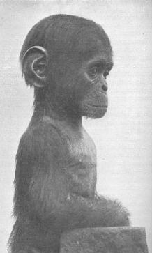 Šimpanzie máďa