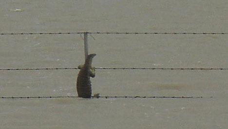 Les inondations au Queensland : varan