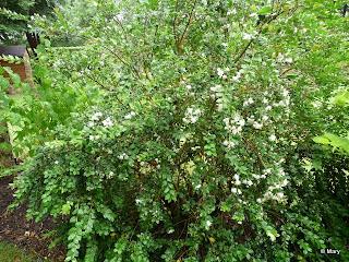 Myrte soci t nantaise d 39 horticulture for Myrte arbuste