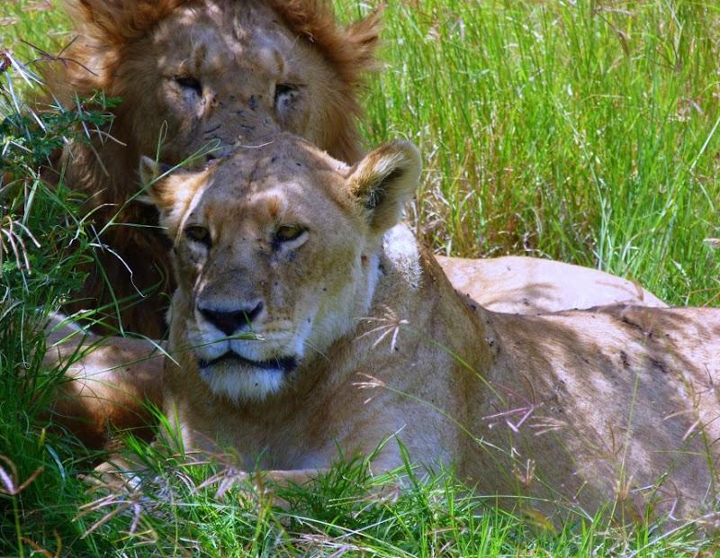 #wildlifesafaritanzania #Travelbloggerindia #Travelblog #Tanzaniatravelblog #tanzaniatourism #Tanzaniawildlifespotting #wildlifesafariafrica #Ngorongoroconservationarea #africanlions