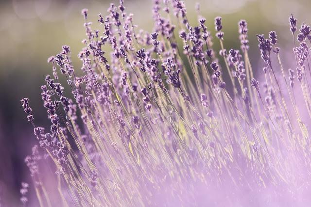 bunga yang memiliki aroma khas ini memiliki beberapa fakta yang menarik 10 Fakta Bunga Lavender Yang Menarik