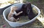 Finja blödelt mit einem 5 monatigen Riesenpudel und einem Labrador (auch 5 Monate).