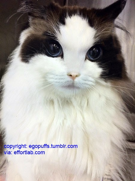 Effort Lab Kucing Paling Cantik Di Dunia