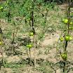 04  Coltivazione di pomodori nei vivai.JPG