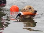 Finja übt den Dummy ans Ufer zu bringen.