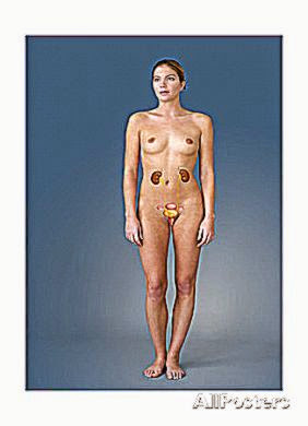 Female Genitourinary Tract Art by Sophie Jacopin at AllPosters