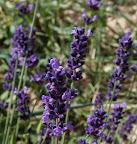 LavenderPeterPan.jpg