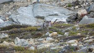 Arctic fox at Camp Three