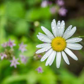 Daisy after the rain by Janice Poole - Flowers Flowers in the Wild ( sony, wildflowers, purple, green, white, daisy, yellow, flowers, floral )