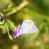 Polyommatus icarus ROTTEMBURG, 1775, mâle, sur luzerne fleurie. Les Hautes-Lisières (Rouvres, 28), 29 septembre 2011. Photo : J.-M. Gayman