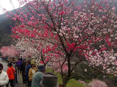 高知県 引地の花桃