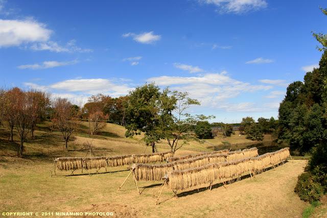 栃谷戸公園:稲の袈裟懸け