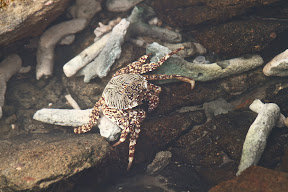 Crab on White Rock Island