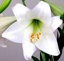 Oriental Lily Flower