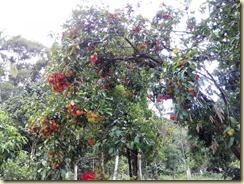 buah di sedim (1)