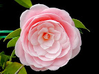 明桃色 千重咲き 中輪
