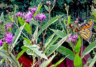 Photo: Native Ironweed (Vernonia) is a butterfly MAGNATE and anything to support the #Monarch butterfly (and pollinators in general) is a good thing!