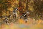 PYRAMIDE   Rut du chamois à l'automne 2015
