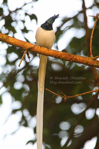 Asian Paradise Flycatcher [Fully Grown Male]