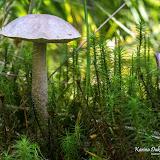 Подберёзовик болотный (Leccinum holopus)