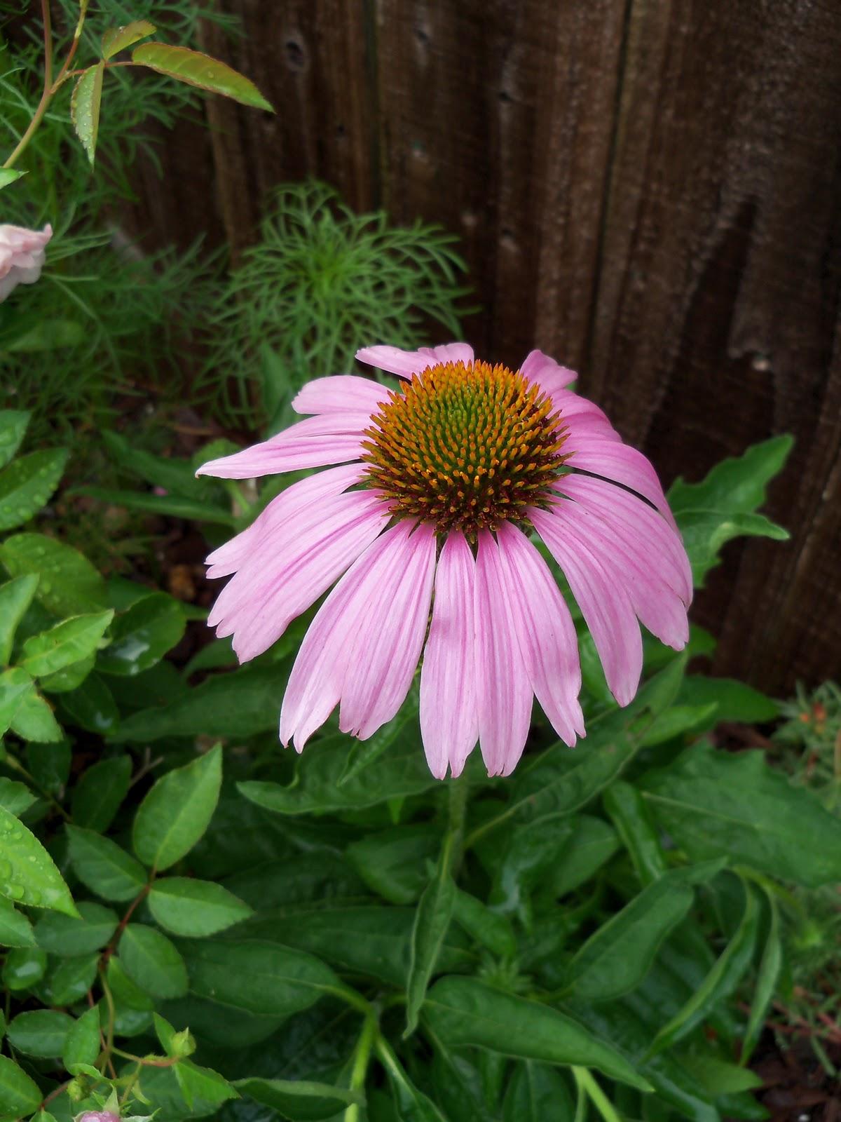 Gardening 2010, Part Two - 101_3211.JPG