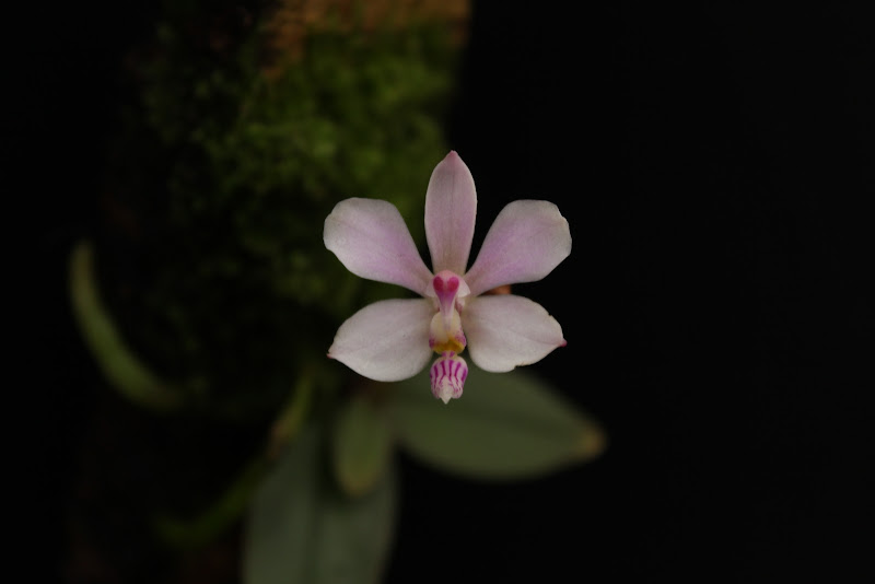 Phalaenopsis Reine De Coeur IMG_2735