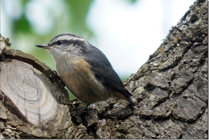 lopez nuthatch 091917 00000