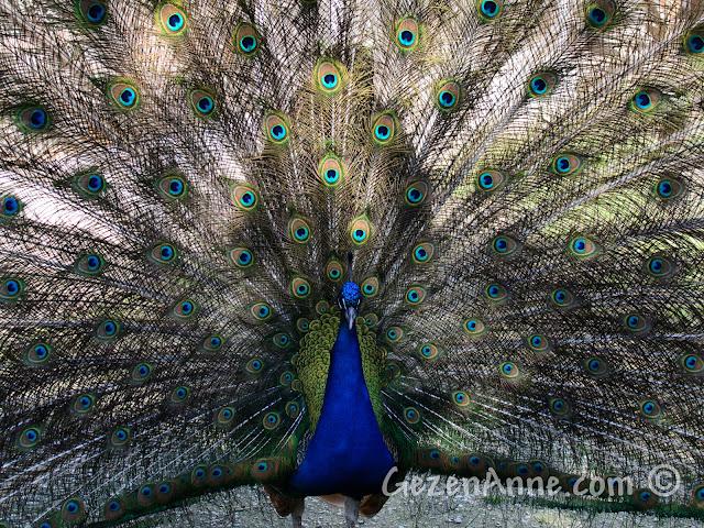 Uluabat Kuş Cenneti'ndeki bir tavus kuşu