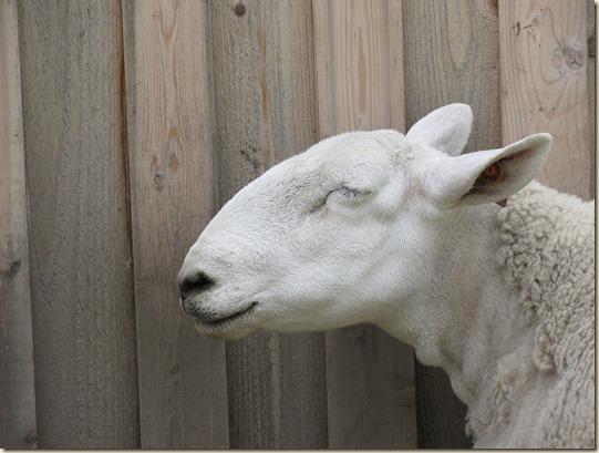 sheep-1672423_960_720
