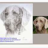 Weimaraners just wonderful