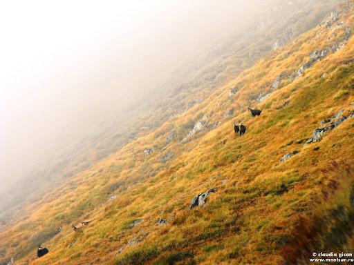 capre negre in Fagaras