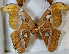 ATTACUS ATLAS (3).JPG