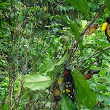 Émergence d'Ornithoptera croesus croesus WALLACE, 1859, mâle & femelle. Pulau Bacan (Moluques, Indonésie), 10 septembre 2013. Photo : Eko Harwanto