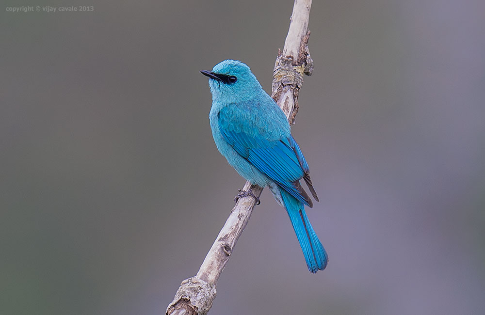 Verditer Flycatcher (Male) * Eumyias thalassinus * 15 cms
