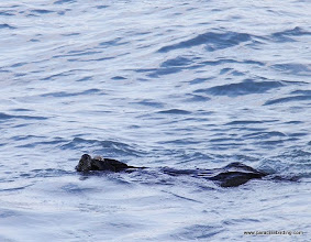 Photo: Sea Otter eating a clam in Kachemak Bay