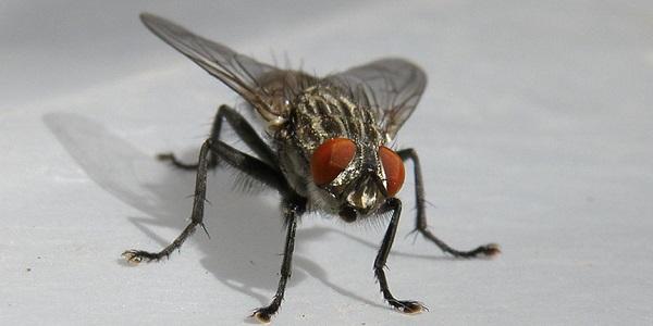 petua menghalau lalat.jpg