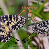 D'après T. Tolman & R. Lewington, Guides des papillons d'Europe et d'Afrique du Nord, Delachaux et Niestlé, 1997, page 26 : comparaison entre les deux sous-espèces : Zerynthia polyxena cassandra (GEYER, 1828), à gauche, et Z. polyxena polyxena (DENIS & SCHIFFERMÜLLER, 1775), à droite.