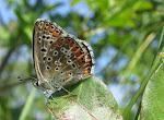 Lysandra bellargus5.jpg
