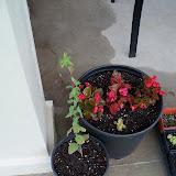 Gardening 2010, Part Two - 101_2283.JPG