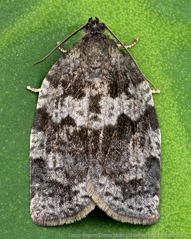 [3637+Large+Aspen+Tortrix+Moth+%28Choristoneura+conflictana%29%5B7%5D]