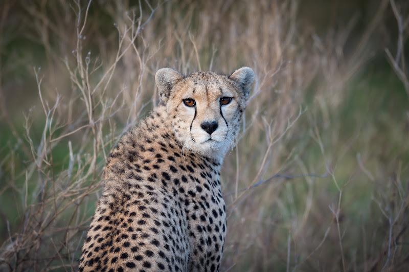 Cheetah di Mauro Rossi