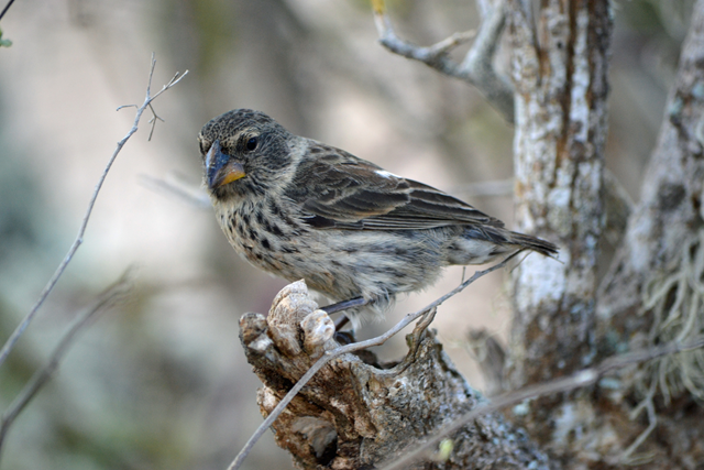 A female medium ground finch, one of at least 14 species of Darwin's finches in the Galapagos Islands, Ecuador. Photo: Jennifer Koop / University of Utah