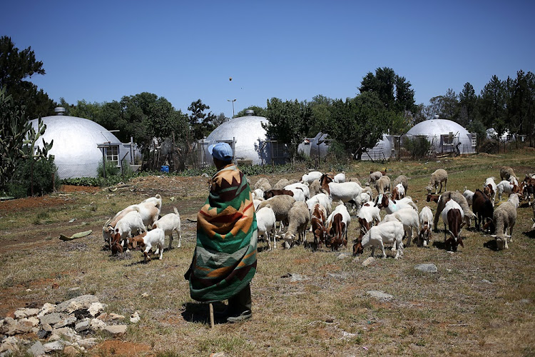 A man herds sheep in front of a mine's accomodation. Many mines in and around Welkom have closed, leaving many people without jobs.