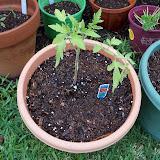 Gardening 2010 - 101_0305.JPG