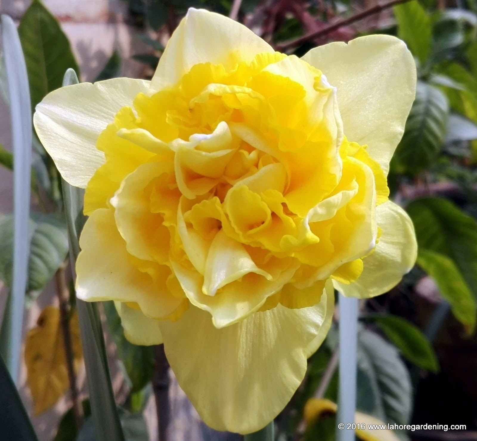 Double daffodil dick wilden
